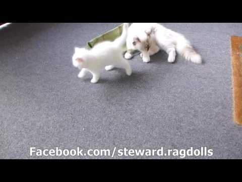 House of Steward Ragdoll Kittens