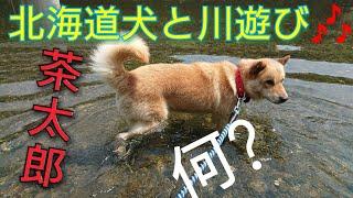 茶太郎君また川遊びしにきたよ♥ BOSS君は家でお留守番(:3_ヽ)_ やっぱり...