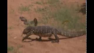 Amazing Wild Animals Attacks, Big Battle Animals Fight- Cobra vs varanus salvato