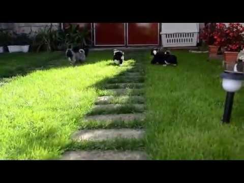 American Akita puppies 4 weeks old