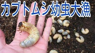 田舎の庭で恒例のカブトムシの幼虫探しをした。 相変わらず沢山出てきた...