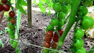 How to Prune Tomatoes for Earlier Harvests, Higher Yields & Healthier Plants(Simple pruning tips for indeterminate tomatoes. The tomatoes featured in this video are Sweet Millions: http://amzn.to/2azFTlO Please join me on Facebook: ..., 2014-07-20T18:00:02.000Z)