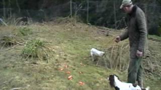 Simon Dixon Training Springers In The Rabbit Pen 1