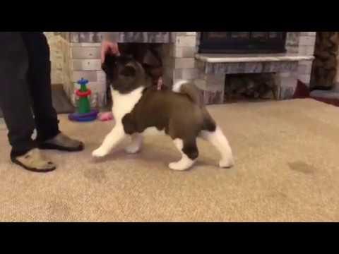 American Akita puppy female AFA BEVERLY HILLS - for sale!