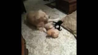 Golden Retriever Vs Pug