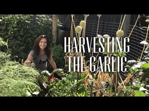 When & How to Harvest Garlic