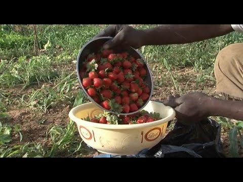 Burkina Faso's strawberry business strives for international standards [Business Africa]