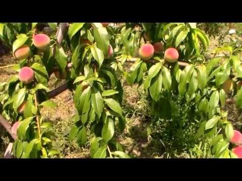 Абрикос: сорта. Описание сортов абрикосов (фото). Лучшие сорта