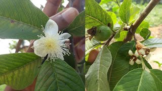 How to get more flowers in guava