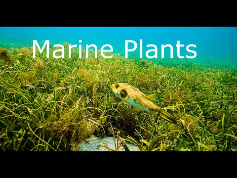 Marine Plants, why are there so few of them?