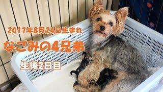 【ヨークシャーテリア専門犬舎チャオカーネ】 2017年8月24日 元気な4兄...