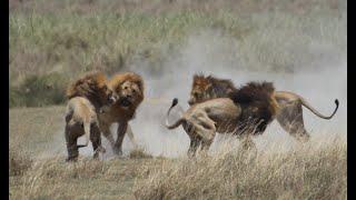 Video 3 of 5. Battle of 4 lions against 1 in Serengeti National Par...