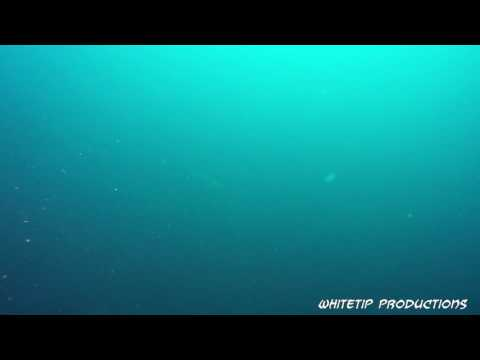 Diving with schoolling scalloped Hammerhead sharks.