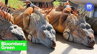 Florida's Iguana Invasion Is Heating Up