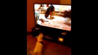 Westie Barking At Dogs On Tv