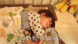 ピットブルが夜中にとる行動【人間赤ちゃんを守るピットブル犬】 thumbnail