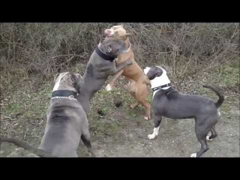 XXL AMERICAN BULLY PITBULLS playing at the beach.