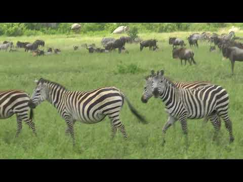 Copy of Mass migration of Gnus in Serengeti, Tanzania 5