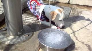 ジャックラッセルテリアのラスティはドッグランで遊ぶのが大好き。暑い...