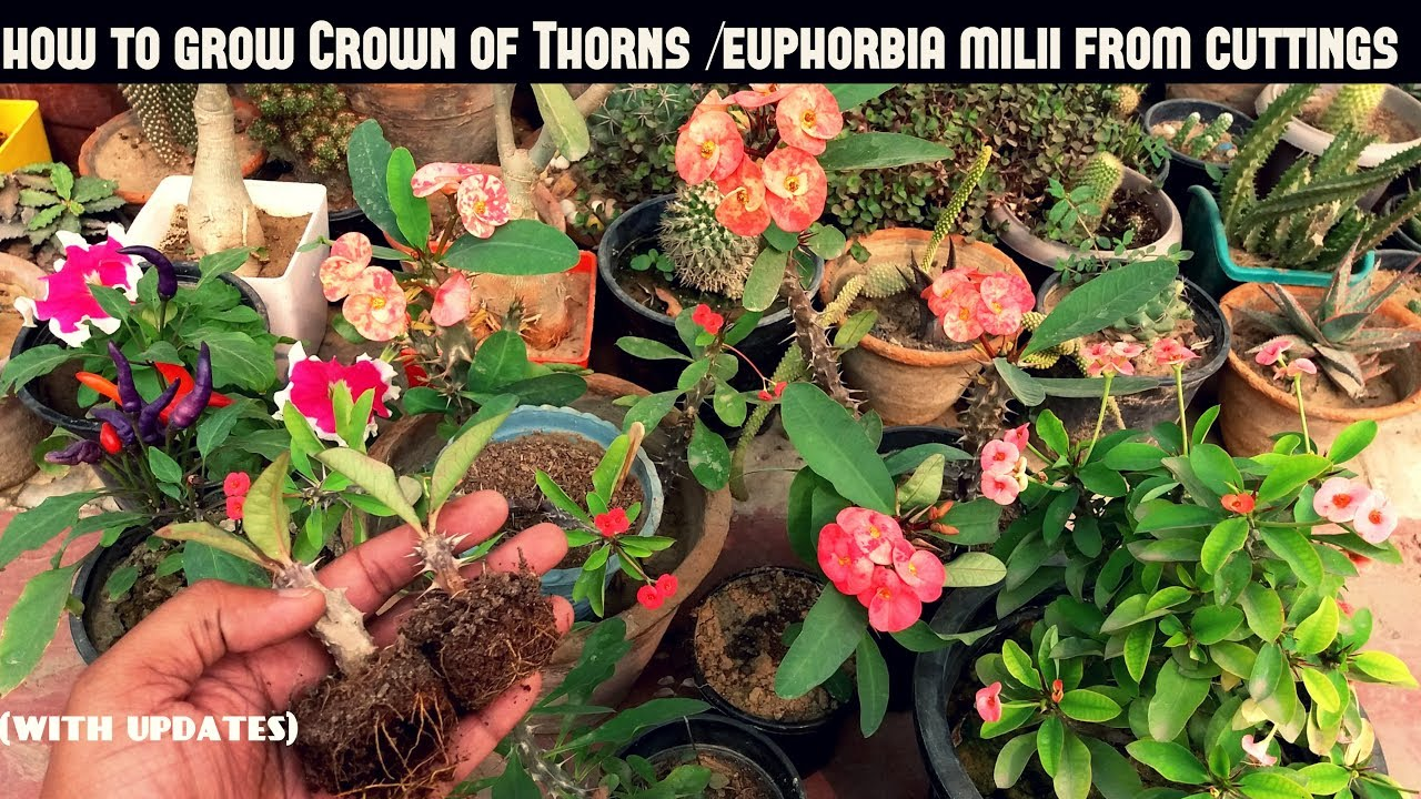 Grow Crown Of Thorns Euphorbia Milii From Cuttings Fast N Easy