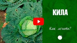 видео Кила капусты