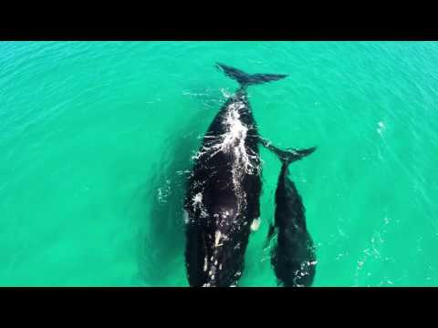 Impactante vista de las ballenas en Australia Occidental