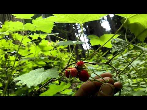 Eureka California - Sequoia Park - Salmonberries