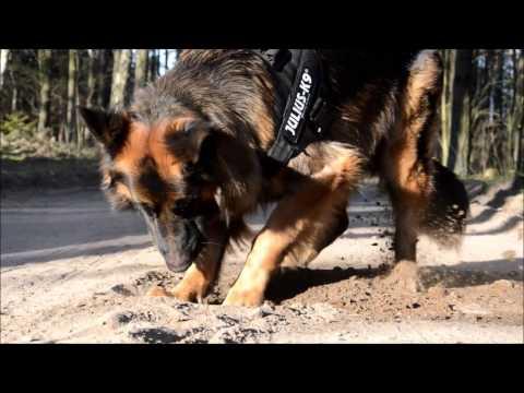 AKSEL - German Shepherd | tricks