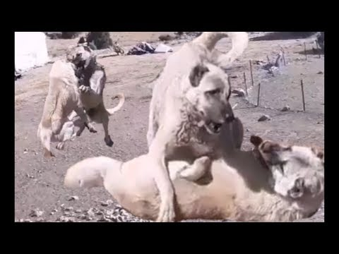 KANGAL HAYATI  (dog)     #kangalserüveni