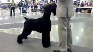 Giant Schnauzer.    Reliant Park Dog Show 2012
