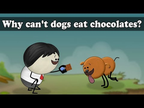 Why Can't Dogs Eat Chocolates?   #aumsum #kids #science #education #children
