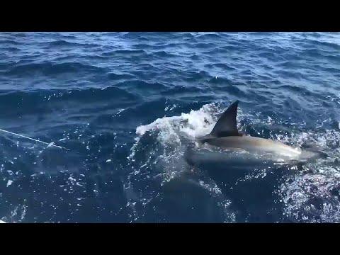Joel Malkin - VIDEO: Great White Shark Hooked Off Fort Lauderdale