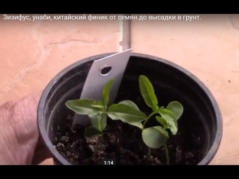 Как вырастить зизифус из косточки