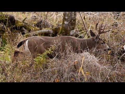 Blacktail Deer In Rut **BIG BUCKS!