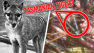 IS THIS A TASMANIAN TIGER IN 2021?