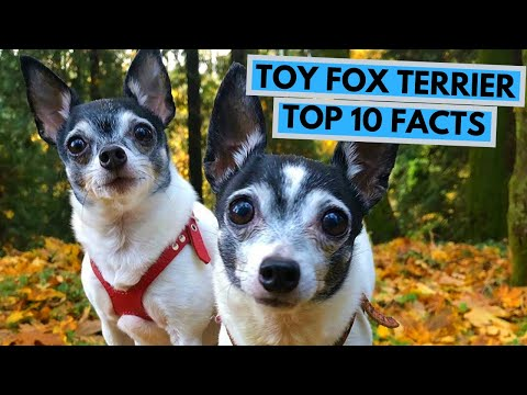 Toy Fox Terrier - TOP 10 Interesting Facts