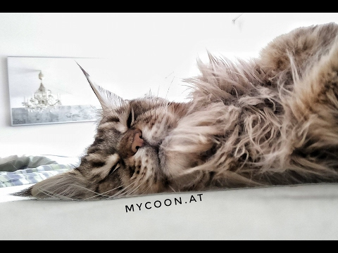 Maine Coon is having a good Time! SWEET