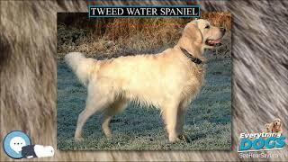 Tweed Water Spaniel  Everything Dog Breeds