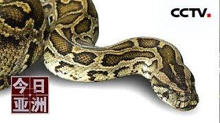 [今日亚洲] 速览 惊悚!蟒蛇惊现高层住宅 吓坏屋主人 | CCTV中文国际