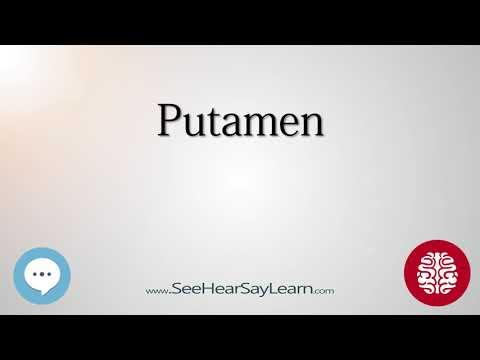 Putamen   Anatomy of the Brain   SeeHearSayLearn