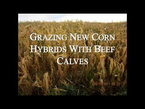Amazin' Corn Grazin' - Farming Smarter Conference 2014