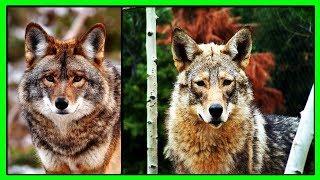Койволк-Гибрид Волка, Койота и Собаки Оказался Крайне Жизнеспособным и Насчитывает Миллионы Особей