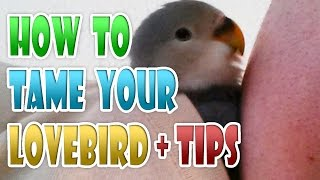 How To Tame Your Lovebird in 5 STEPS & TIPS. Taming Agapornis Tamed Love Bird Parrot