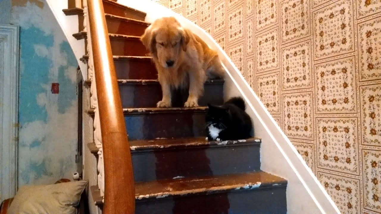 Dog Is Too Afraid To Pass Cat On Stairs   YouTube