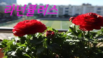 베란다 꽃, 라넌큘러스 키우기,화려한 라넌큘러스