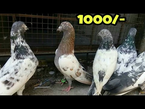 Top quality High Flying pigeon for sale At Hyderabad   High flying kabootar  for sale