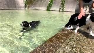 老犬ヴィヴィが、パルの同胎犬こはるちゃんを心配して付きまとっていま...