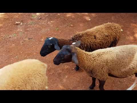 Unity Goat farm Manchester Jamaica
