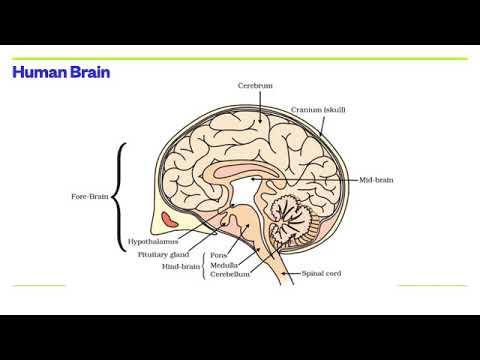 Nervous system - Dr Randall Science