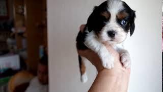 http://life-with-dog.net/puppy/cavalier/ ライフウィズドッグのキャバ...